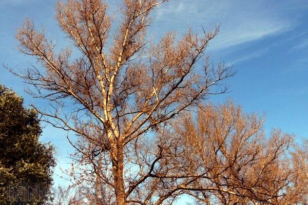 Учёные говорят о том, что в скором времени можно будет выращивать топливо на деревьях